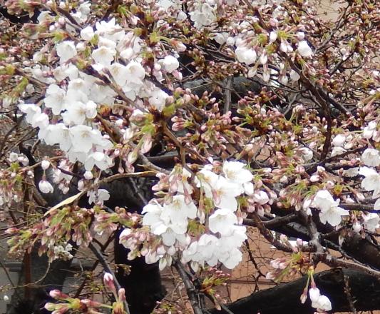 3/27の教室前の桜