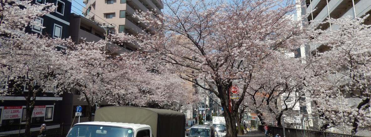 """""""空蝉橋通り北""""の桜"""